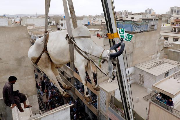 A sacrificial cow is lowered from a rooftop by crane, ahead of the Eid al-Adha festival in Karachi, Pakistan, August 12, 2018. REUTERS/Akhtar Soomro/File photo