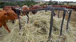 Sussex mixed cattle eat additional hay distributed into their normal grazing fields by farmer David Barton at Manor Farm in Middle Duntisbourne in south west Britain, August 1, 2018. Picture taken August 1, 2018. REUTERS/Toby Melville