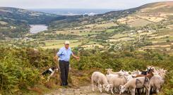 Donie Anderson farms around 120 ewes, which have access to 4,900 acres of the Wicklow Mountains National Park overlooking his farm in the Glensasmole Valley.