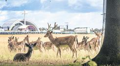Deer at the Phoenix Park pictured near the Papal Cross yesterday. Picture: COLIN O'RIORDAN