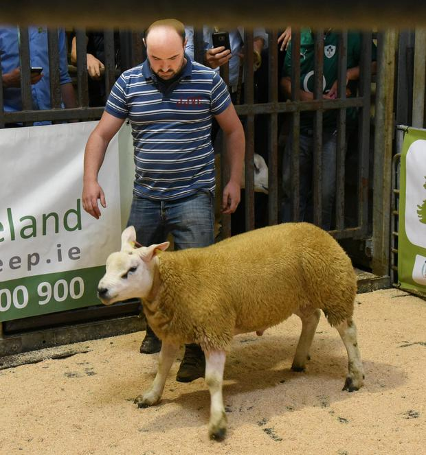 Flying trade for top Texel rams - Farming Independent