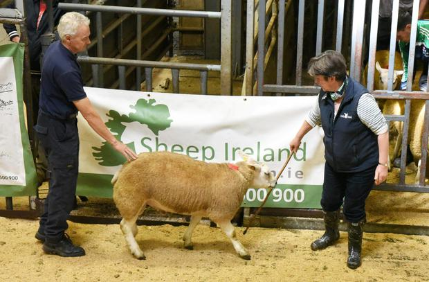 Texel price topper of the day, Murphy's Banjo from the flock of Michael and Aidan Murphy, which fetched €1,220.