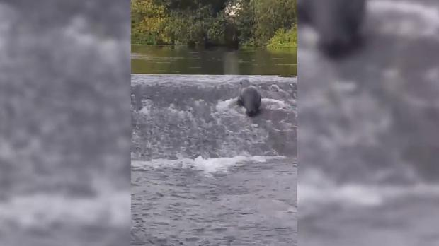 The seal has been at Cork harbour since last year (PA Video)