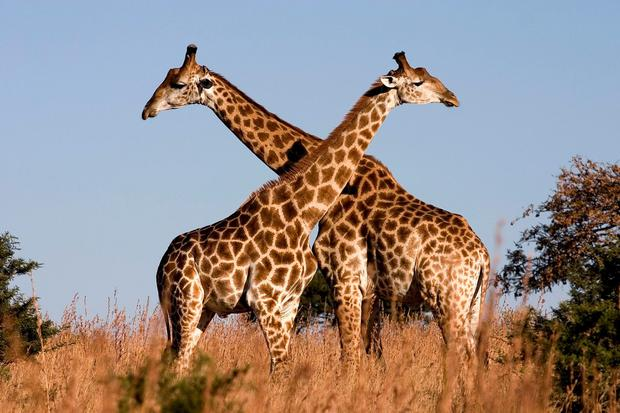 'Mr Williams chased the giraffe away, but not before his family had sustained serious injuries' (stock photo)