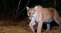 A puma, otherwise known as a cougar (Stock Photo: Getty Images)