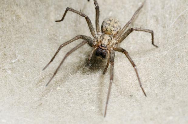 Householders are likely to see more creepy crawlies in the coming weeks during peak spider mating season, which runs until the first week of October. Stock Image: Getty Images