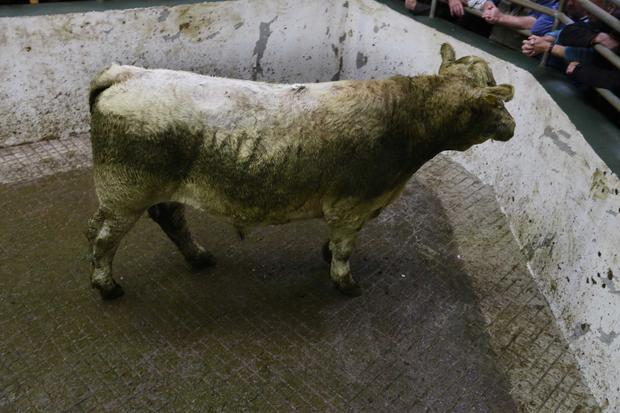 13/Sept/2018. BAllymote Mart Lot Number 1061 Weight 635Kg DOB 25/6/16 Sex Male Breed LMX Price. €1400 Photo Brian Farrell