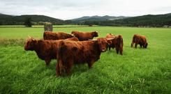 Cattle stand in a field on the Queen's Balmoral Estate. (Photo by Chris Jackson/Getty Images)
