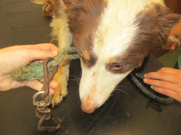 Collie in vet with rope and hook attached.