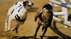 The favourites to win the top prize are likely to be Rosbirr Ranger and Droopys Steel and it will be a surprise if they don't prove the top winners this evening (stock picture)