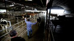 Delvin Mart.Livestock are sorted into pens after the auction. Picture; Gerry Mooney