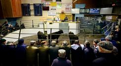 Nenagh Mart. Selling underway in the Bullock arena . Picture; Gerry Mooney