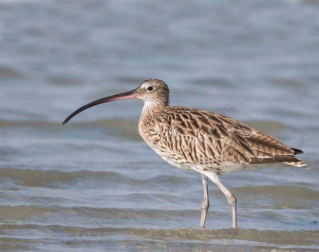 Curlew: The bird's plaintive cries are a nostalgic reminder