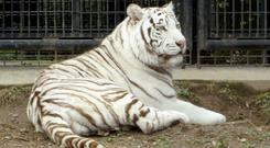 White tiger Riku sits in a cage at Hirakawa Zoological Park in Kagoshima, southern Japan. Japanese police are investigating the death of a zoo keeper apparently after being mauled by the white tiger at the animal park. Local police said the 40-year-old Akira Furusho was found bleeding from his neck and collapsed Monday, Oct. 8, 2018, evening inside a tiger cage at the zoo. Zoo officials said they believe Furusho was attacked while trying to move the male tiger from its exhibition cage to its night-time cage. (Hirakawa Zoological Park/Kyodo News via AP)