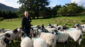 Patrick Boyle and his Brockagh Swaledale flock. Photo Clive Wasson