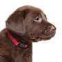 Chocolate Labradors have steadily increased in popularity. Stock photo