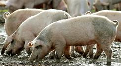 The ministry said 546 hogs in a pig farm in Yiyang and 268 hogs in Changde were culled after infections were found. (Rui Vieira/PA)