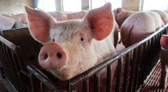Pigs are seen on a family farm in Xiaoxinzhuang village, Hebei province, China. REUTERS/Dominique Patton/File Photo