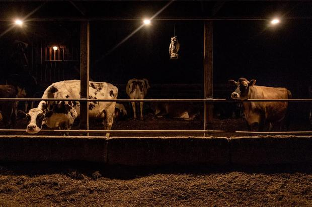 Dairy cows are seen in their stalls before their daily milking at EMMA Acres dairy farm.