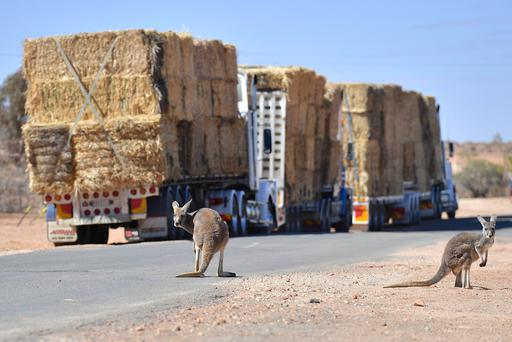 Kangaroos can be seen standing near parked trucks loaded with hay on the outskirts of the western New South Wales town of White Cliffs, in Australia, August 18, 2018. Picture taken August 18, 2018. AAP/David Mariuz/via REUTERS