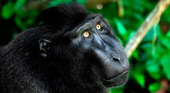 'Runaway consumption': Global wildlife like the black crested macaque has been decimated, say the WWF. Photo: AFP/Getty Images
