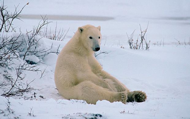 Polar bear numbers are projected to decline by 30pc
