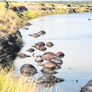 Death on the river: Buffalo carcasses line the banks of the Chobe. Photo: Simone Micheletti/Serondela Lodge/Handout via Reuters