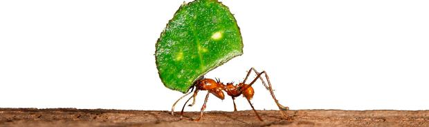 ANT AT WORK: Leaf-cutter ant