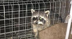 The Raccoon from Macroom Photo: Neil Prendeville Show