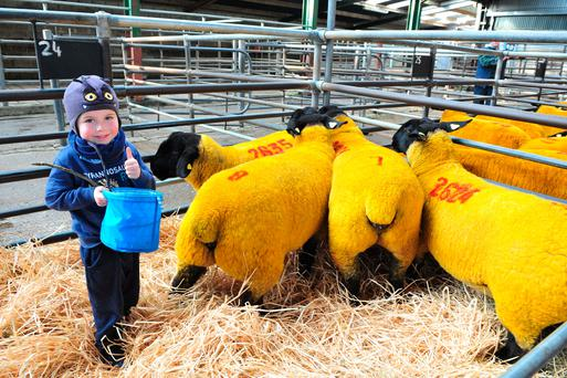Padraig Byrne from Kilkenny with sheep from Malinhead flock at the 9th Annual suffolk female pedigree sale in Blessington Mart on Saturday. One Lot from the flock made €2,000. Photo Roger Jones.