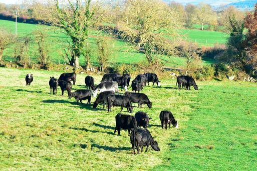 Strip Grazing into late November as parts of the country are still dry under foot. Photo Roger Jones.