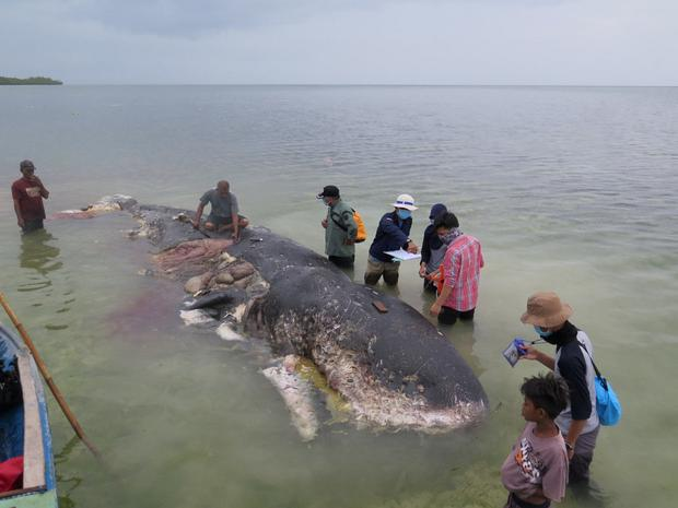 Dead sperm whale had 6kg of plastic in its stomach