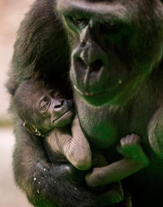 Kira, a 23-year-old western lowland gorilla, holds her newborn baby in its enclosure at the Moscow Zoo in Moscow, Russia November 21, 2018. REUTERS/Shamil Zhumatov