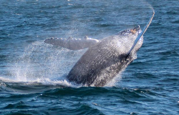 More common than we knew: The €2.7m survey, which covered more than 420,000 square kilometres, identified hundreds of whale, dolphin and bird species spotted in Irish territorial waters