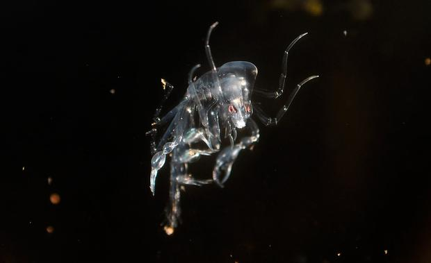 Grim: The parasite – far left – eats jellyfish from the inside and rides around in their corpse. Photo: Domnick Walsh