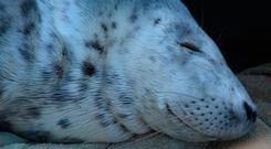 Silky, the three-month-old baby seal, rests after he was found on the beach