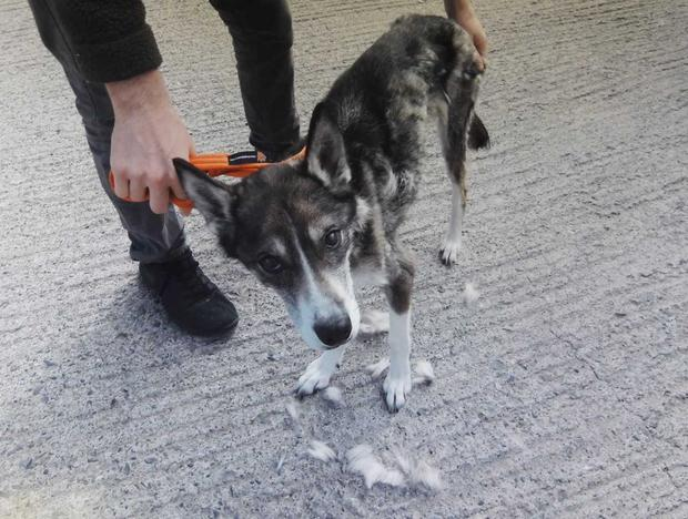 The condition of the Husky when rescued Photo: DSPCA