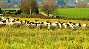 This flock of sheep in Ballyellen Co Kilkenny has just been moved to a new grazing strip of fodder rape and volunteer corn. Photo Roger Jones.