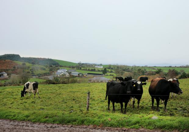 Cows on the farm of Gillian and Neil O'Sullivan, Dungarvan Co. Waterford. Picture; Gerry Mooney