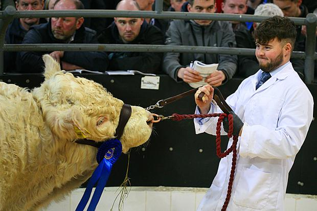 1/12/2018. Elphin Mart. Charolais Christmas Cracker Show and Sale Taking No Bull in the Ring. Lot Number 25 DOB 26/8/17 Sex Bull 2nd in Class Price €4,600 Photo Brian Farrell