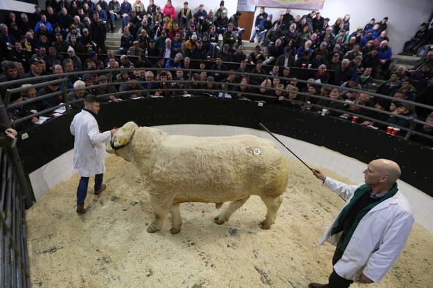 1/12/2018. Elphin Mart. Charolais Christmas Cracker Show and Sale Lot Number 52 DOB 16/9/17 Sex Bull Price €10,000 Photo Brian Farrell