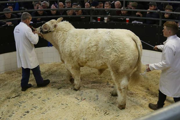 1/12/2018. Elphin Mart. Charolais Christmas Cracker Show and Sale Lot Number 63 DOB 29/9/17 Sex Bull Price €6,100 Photo Brian Farrell