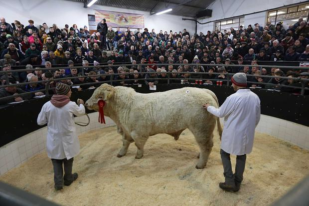 1/12/2018. Elphin Mart. Charolais Christmas Cracker Show and Sale Lot Number 11 DOB 6/7/17 Sex Bull 1st in Class Price €4,800 Photo Brian Farrell