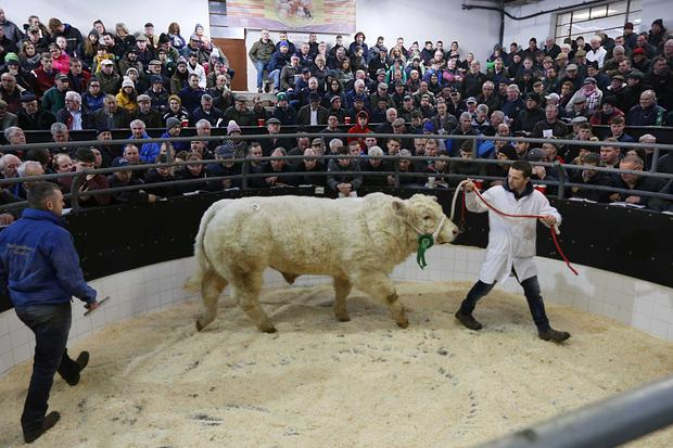 1/12/2018. Elphin Mart. Charolais Christmas Cracker Show and Sale Lot Number 24 DOB 18/8/17 1st in Class Sex Bull Price €5,000 Photo Brian Farrell