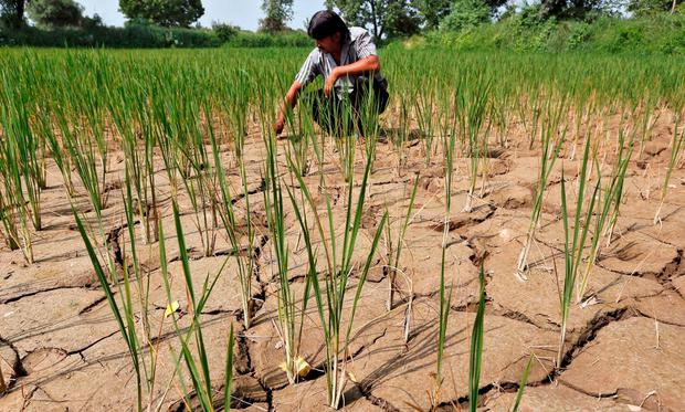 Threatened: A farmer removes plants from his parched paddy field on the outskirts of Ahmedabad, India. Photo: REUTERS/Amit Dave