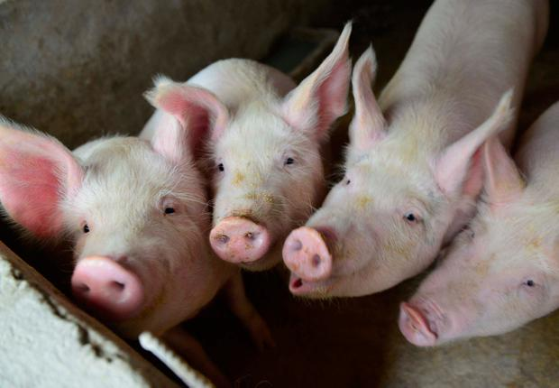 Pigs could be heart donors. Photo: Reuters