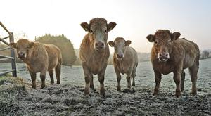 Cold creatures. Steam rises off hardy animals at Crubany Cavan on Friday morning following a hard overnight frost in the area. Photo: Lorraine Teevan