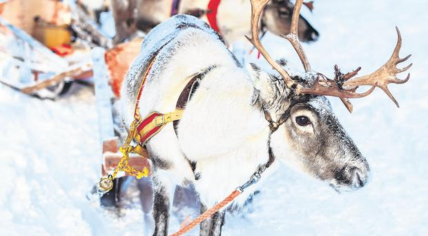 Santa's little helpers: Reindeer in a winter forest in Finnish Lapland. Rudolph may not have been the victim of bullying as was once believed