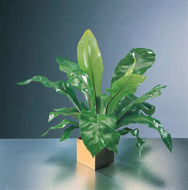 UNDIVIDED LEAVES: Bird's nest fern is a popular house plant