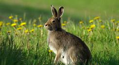 Scientists fear that there is a downward trend in the Irish hare population